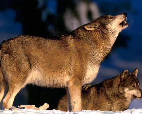 Вой - самый волнующий и загадочный звук волчьего языка. В жизни волков он может сыграть роковую роль: охотники умеют подражать волчьему вою, а эти умные звери порой откликаются, выдавая свое местонахождение
